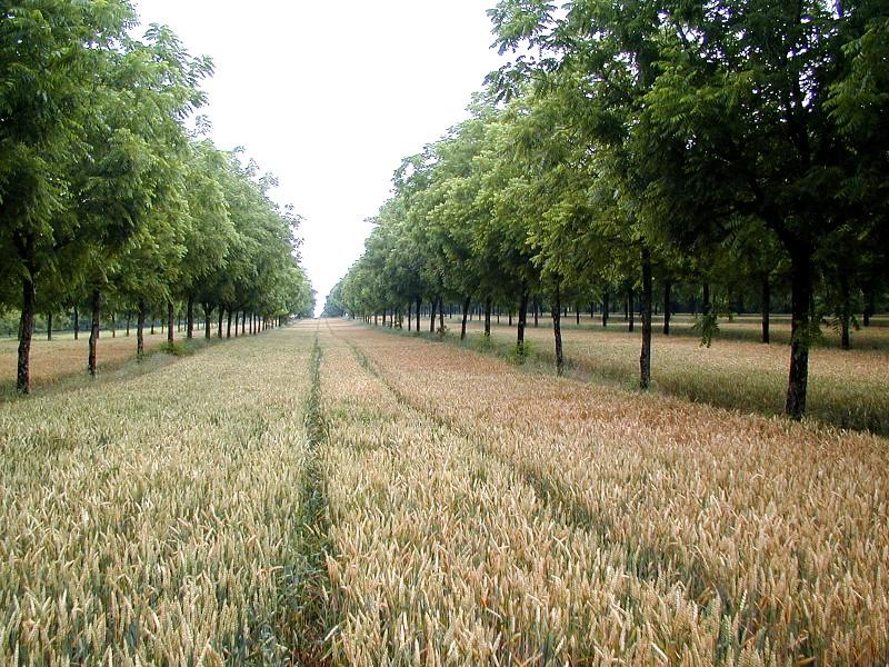 Nogal y Cereal_sur de Francia_ cedidas por Christian Dupraz y Fabien Liagre (2)